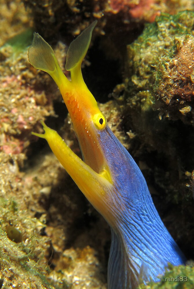 Blue Ribbon Eel by randi83