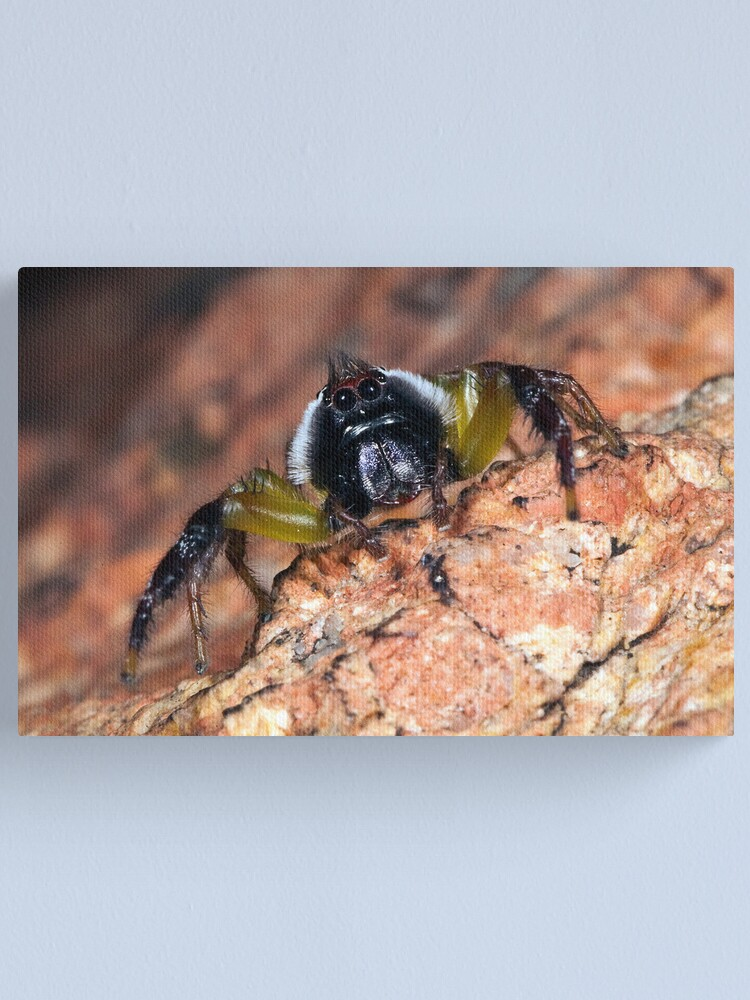 Alternate view of Jumping spider. Canvas Print