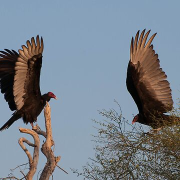 Two Vultures by MartinaT61
