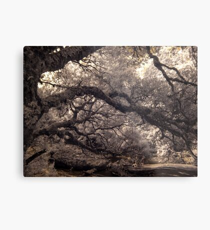 Pencil Pine Walk Metal Print