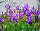Purple Iris by FrankieCat