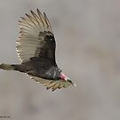 Turkey Vulture by (Tallow) Dave  Van de Laar
