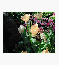 Spring Tulips in Bloom Photographic Print
