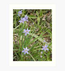 Blue-Eyed Grass Art Print