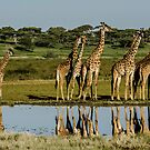 Giraffes, South Serengeti, Tanzania by Sue Ratcliffe