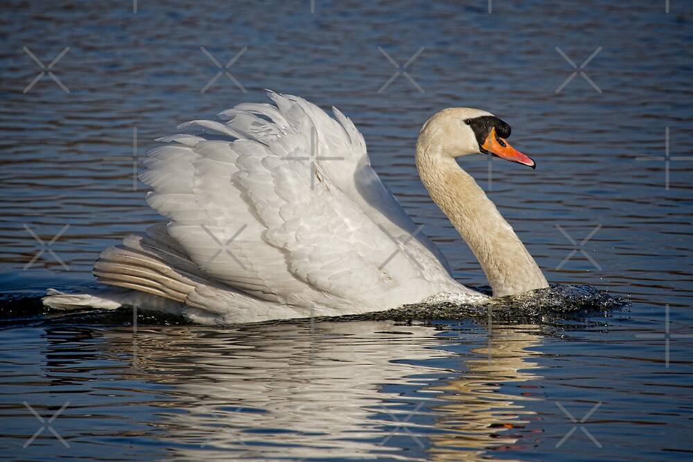 Swan a swimming by alan tunnicliffe