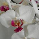Orchid in Full Bloom by mussermd