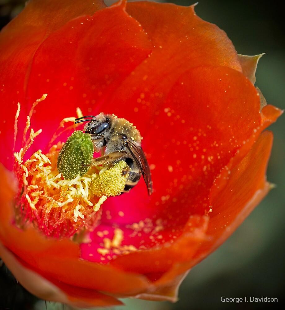 Springtime Cactus Flowers by George I. Davidson