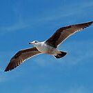 Seagull in Flight by CKAStudios
