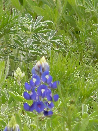 Mini Bluebonnet Scene by Navigator
