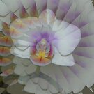 Orchid illusion by mussermd