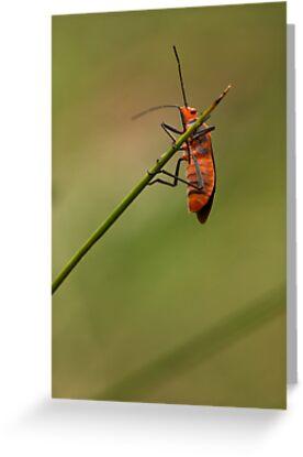 Red Cotton Bug by Colin  Ewington