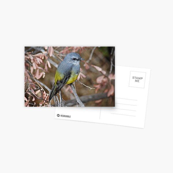 Western Yellow Robin Postcard