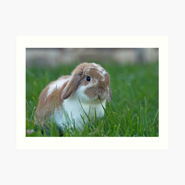 Brown and White Holland Lop Rabbit Munching on Grass Art Print