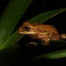 Tawny Treefrog by Seth LaGrange