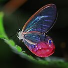 Glass Wing Butterfly by Seth LaGrange