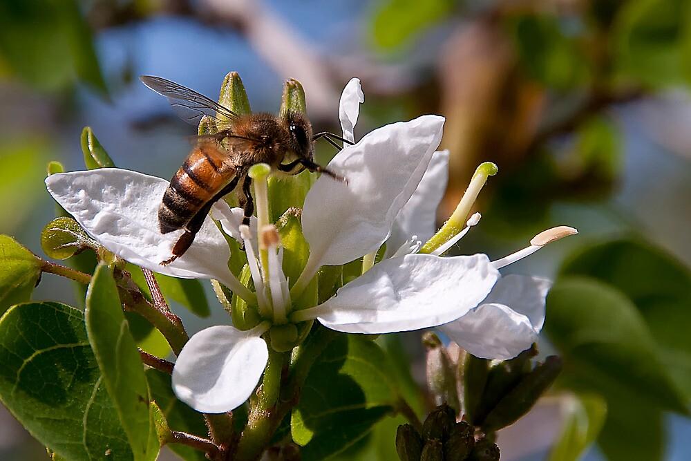 Texas Honey Bee by TeresaB