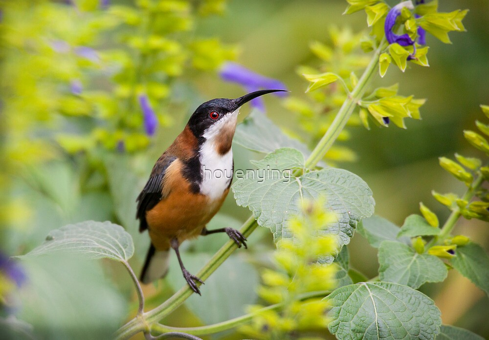 australia birds - eastern spinebill (il) by houenying