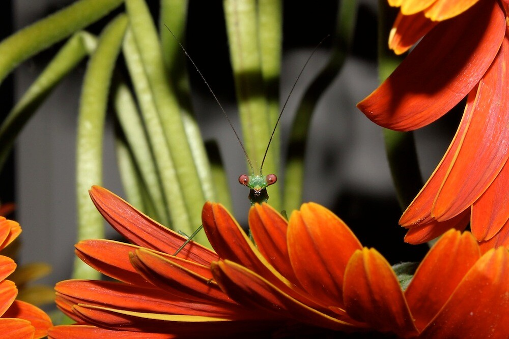 Curious Praying Mantis by Hansipan