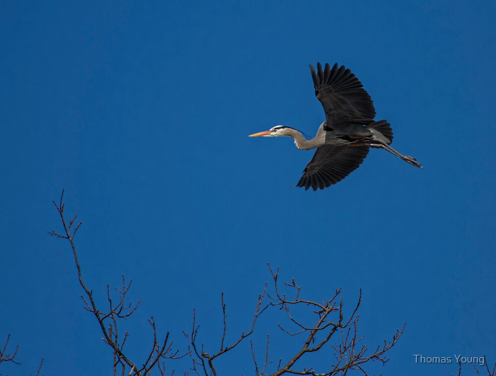 The Return of the Great Blue Heron by Thomas Young