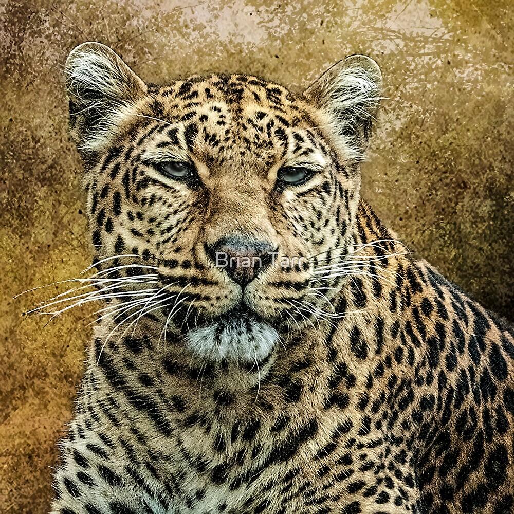Leopard by Brian Tarr