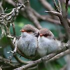 Superb Fairy Wrens by margotk