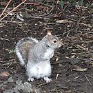 Grey squirrel by beracox