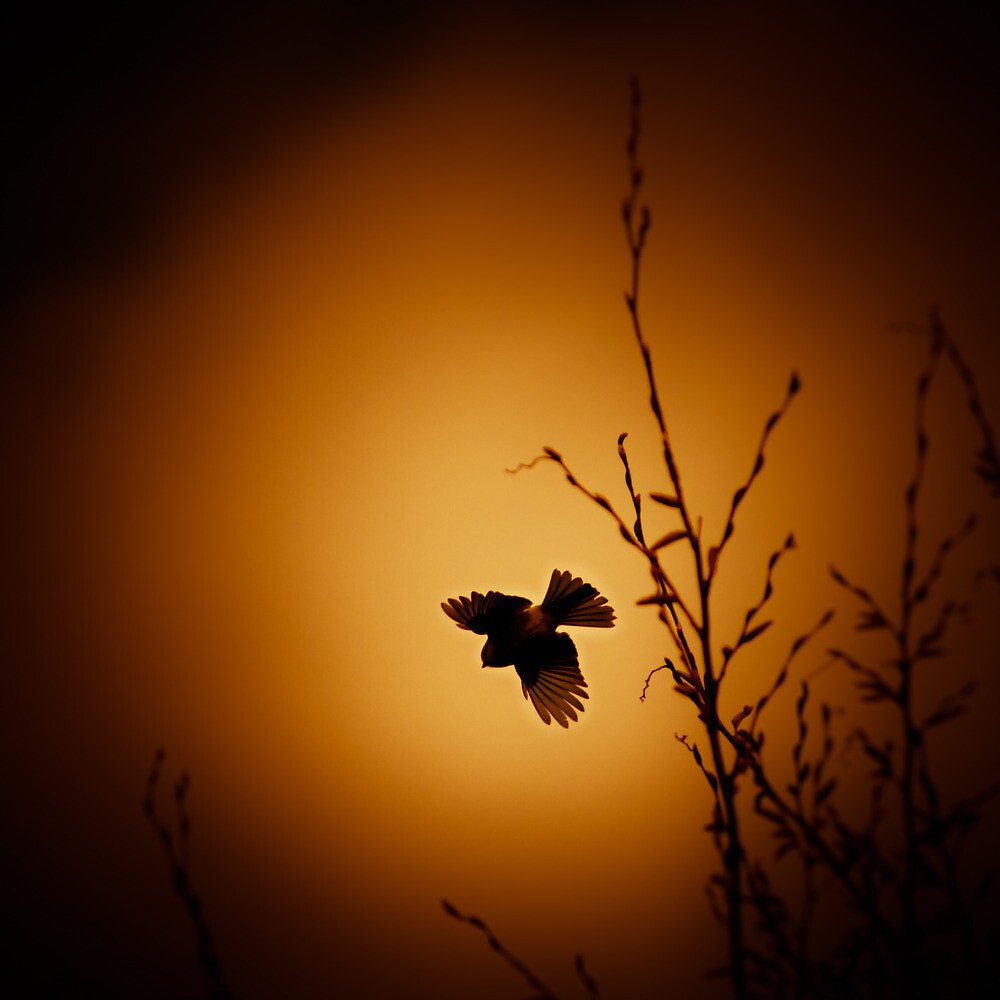 sparrow (001)  by dirk hinz