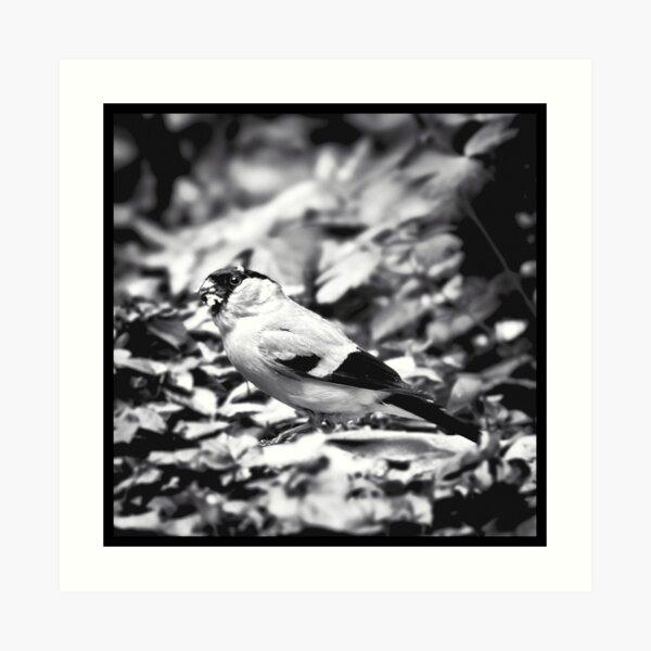 sparrow (003)  Art Print