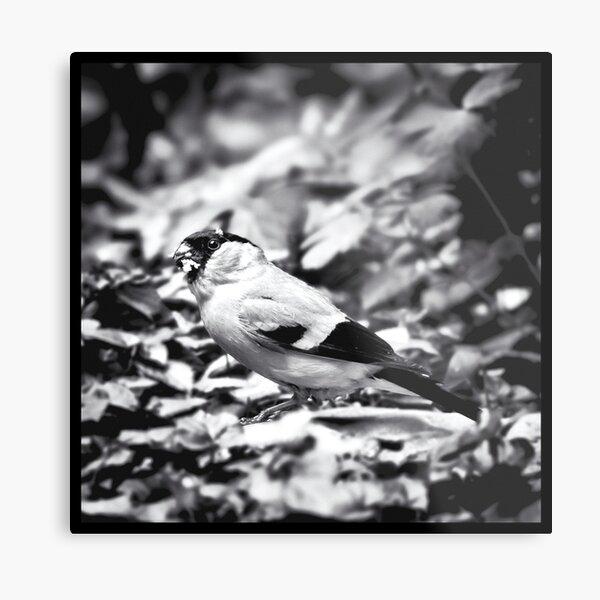 sparrow (003)  Metal Print