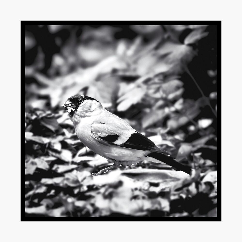 sparrow (003)  Photographic Print