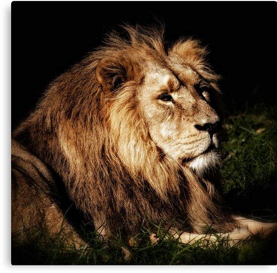 Proud Lion by Matt Sillence