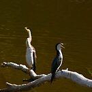 Australien Dart Birds by HG. QualityPhotography