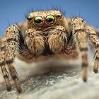Evarcha hoyi male jumping spider by Mario Cehulic