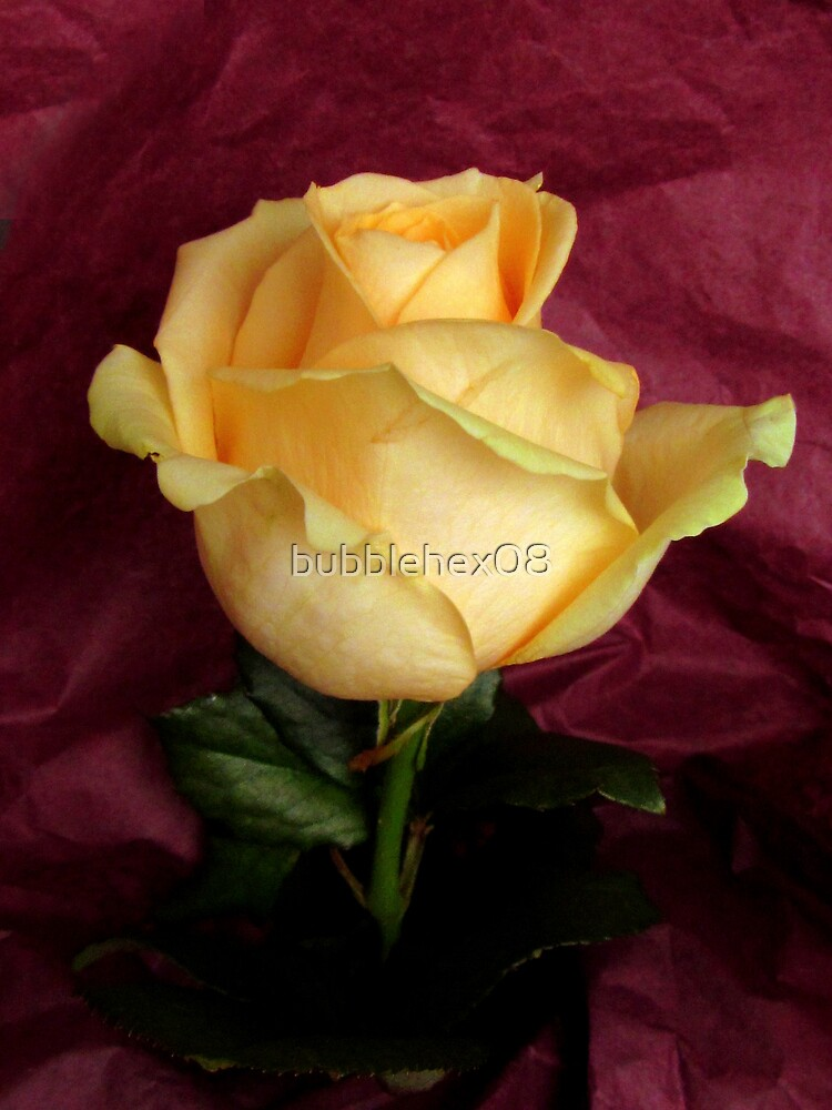 A rose with its paper wrap by bubblehex08