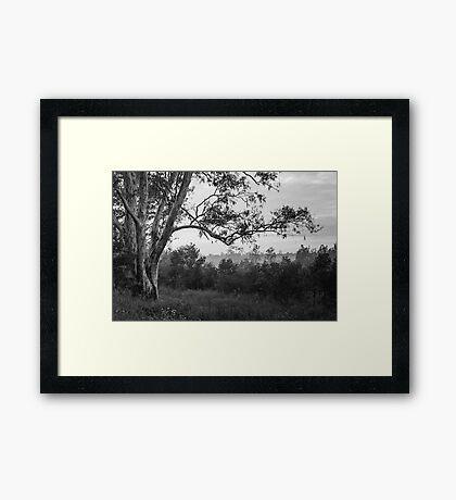 The old gum tree Framed Print