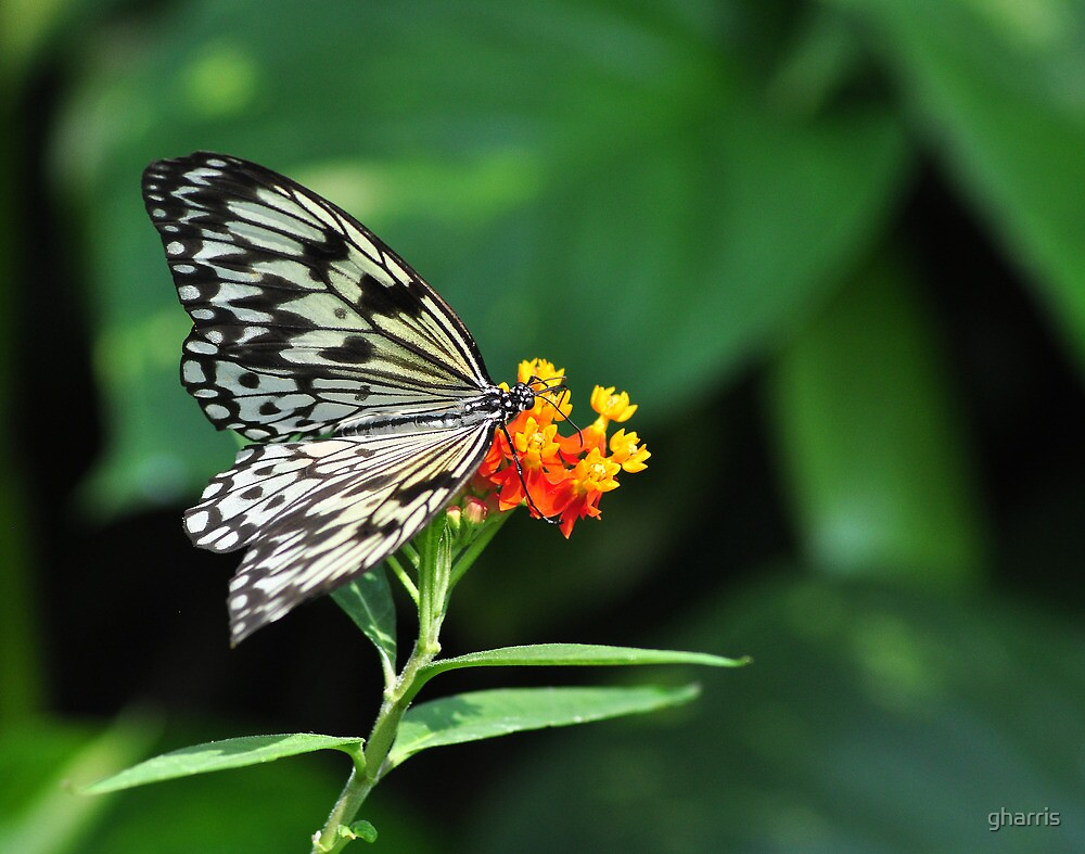 Rice Paper Butterfly by gharris