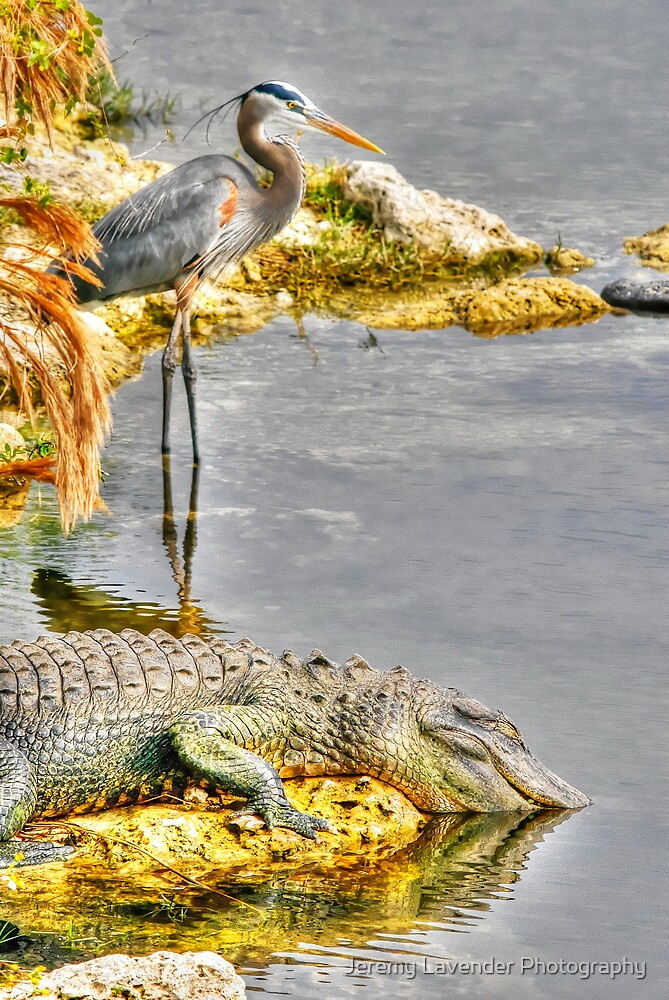 The Everglades, South Florida - Another Hangover Buddy? by Jeremy Lavender Photography