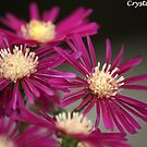 Asters  by crystalseye