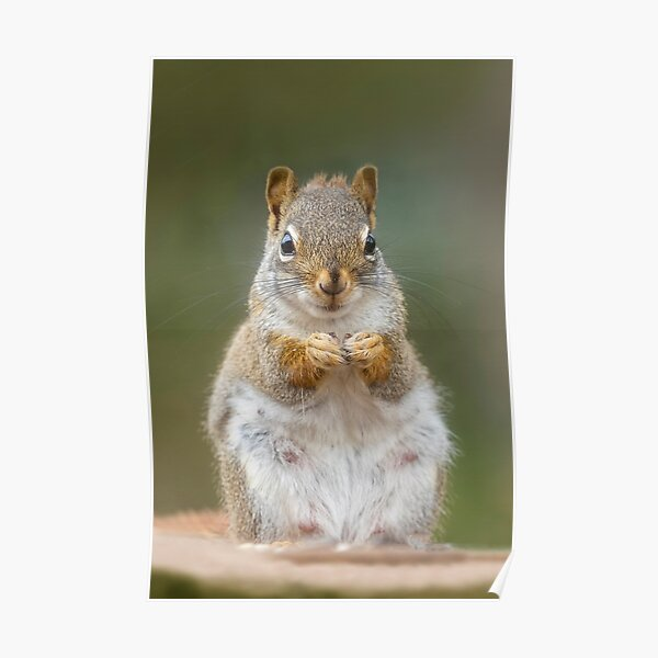 Portrait of Red Squirrel Poster