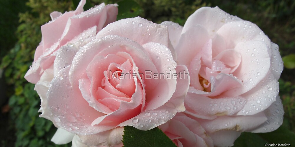 Morning Dew Roses by MarianBendeth