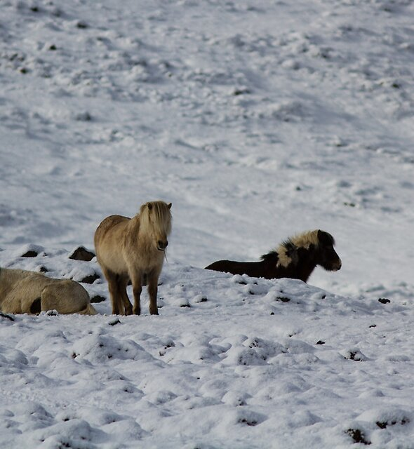 Icelandic Horse by SiggiH