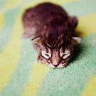 The Spectacled Kitten by Taylor Katz
