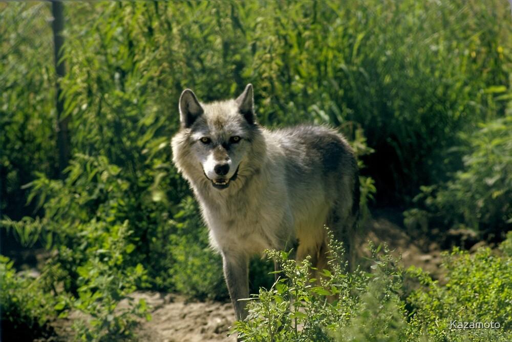 """'Timber Wolf"""" by Karl  Zielke"""