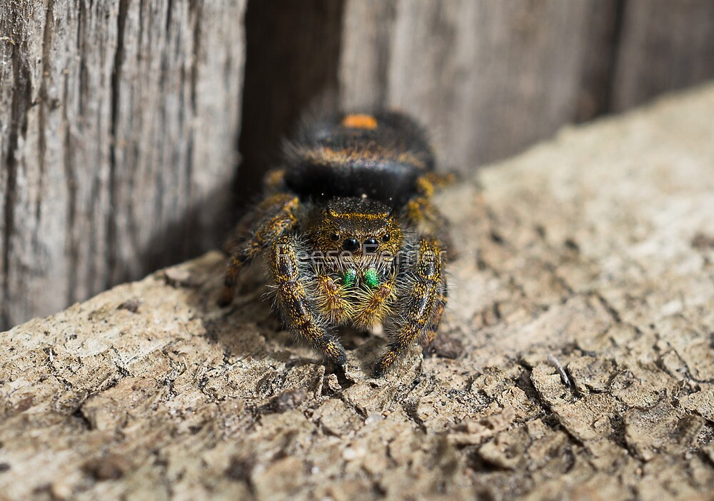 Bold Jumping Spider by Reese Ferrier
