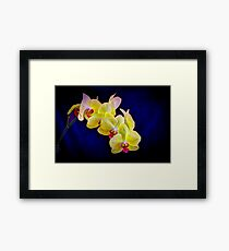 Beautiful Yellow Orchid with deep blue background Framed Print