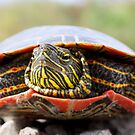 Painted Turtle I by Ashlee White