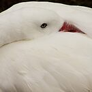 Swan at Rest by Widcat