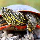 Painted Turtle II by Ashlee White