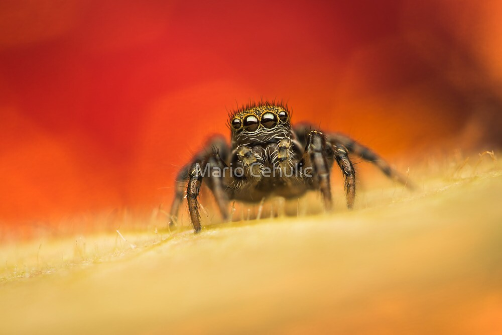 Phlegra fasciata(Salticidae) female jumping spider macro by Mario Cehulic